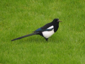 Magpie on the lawn