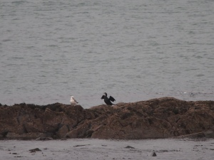 Sea birds on Rogers Point at low water