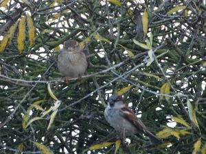 Sparrows in a tree
