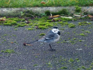 One of a pair of Pied Wagtails