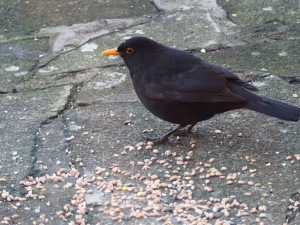 Cheeky Blackbird