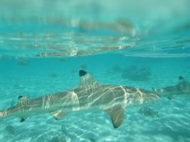 reef sharks 3