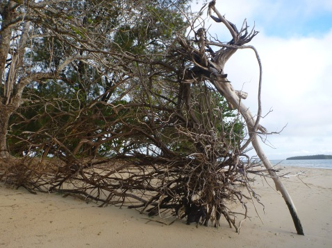 Beach art - a tree root