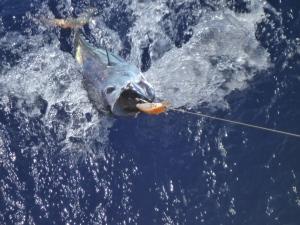 Skipjack tuna, Fiji to Vanuatu